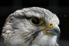 falcon-317791__180